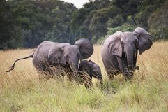 Family of forest elephants in Nyonie, Gabon Stock Photo