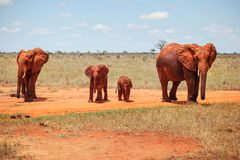 Family of four african bush elephants royalty free stock images