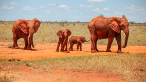 Family of four African elephants Loxodonta africana red from d stock photography