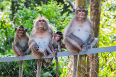 Family of four monkeys Stock Image