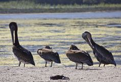 Family of four Pelicans Royalty Free Stock Photos