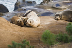 Family of four sea lions cuddling and sleeping in the sun in San Diego, California Stock Image