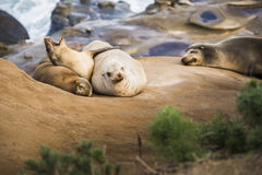 Family of four sea lions yawning and sleeping in the sun in San Diego, California Stock Photos