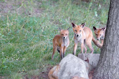 Family of foxes on the walk Royalty Free Stock Photos