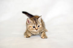 Family friend, small kitten. Royalty Free Stock Images