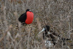 Family of Frigate Bird from Galapagos Stock Photography