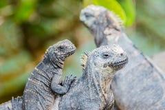 Family of Galapagos marine iguana, Isabela island Stock Photography