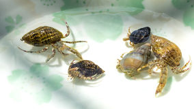 Family gathered little hermit crabs Royalty Free Stock Photo
