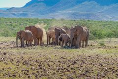 Deserted adapted elephants in bush. Family gathering deserted adapted elephants puffing red dust over themselves in bush in Torra Conservancy Namibia royalty free stock image