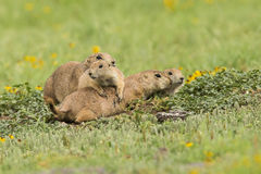 Family gathering. Of prairie dogs Royalty Free Stock Photos