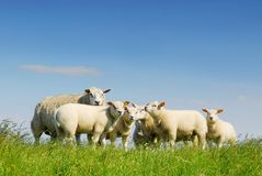Family gathering of sheep. On green meadow with blue sky on dutch island Texel stock photo
