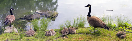 Family of Geese Royalty Free Stock Images