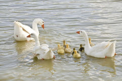 A family of geese. This image shows a young chick protected by three geese adult Royalty Free Stock Photography