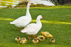 A family of geese. Family of geese. The offspring were fed, safe, while their parents watched Stock Image