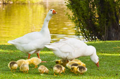 Family of geese. With their young Stock Images
