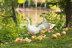A family of geese. This image shows a family of geese. The offspring were fed, safe, while their parents watched with a daughter last year Stock Image