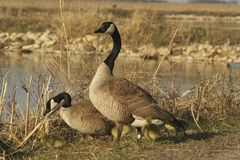 Family of geese. A family of geese standing on the shoreline Stock Photos