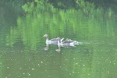 Family geese with baby gosling swimming on the river. Green stock photo