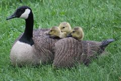 Family of Geese. These baby geese are keeping warm with there mom Royalty Free Stock Photo