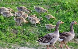 Family of geese Stock Image