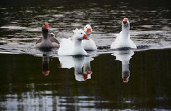 Family of geese floating Royalty Free Stock Images