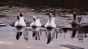 Family of geese floating Royalty Free Stock Photo