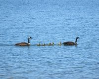 Geese family swimming across lake. Family of geese and goslings swimming in single file across lake in Colorado Royalty Free Stock Photography
