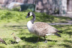 Family of geese through the grass. Royalty Free Stock Photography