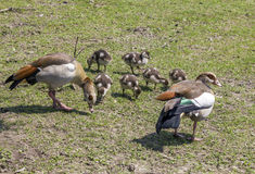 Family of geese grazing on grass Royalty Free Stock Image