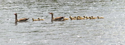 Family of geese on lake Royalty Free Stock Photos