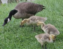 Family of Geese. Looking for food Royalty Free Stock Image