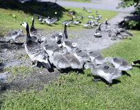 Family of geese with many of small gray chicks Royalty Free Stock Photos