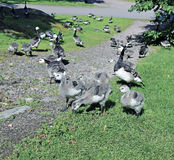 Family of geese with many of small gray chicks Stock Image