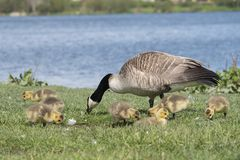 Family of geese with mother goose pecking on grass royalty free stock photography