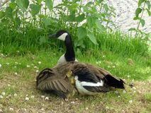 A family of geese Royalty Free Stock Photo