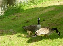 A family of geese Royalty Free Stock Photography