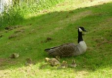 A family of geese Royalty Free Stock Image