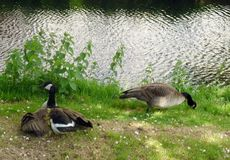 A family of geese Royalty Free Stock Photos