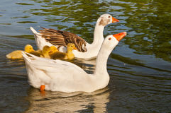 A family of geese in the pond. This image shows a pair of geese protecting their offspring, in the pond. The male takes an aggressive stance, while the female Royalty Free Stock Images