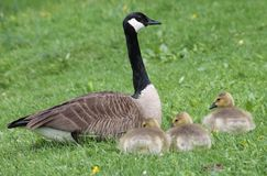 Family of Geese. Relaxing in the sun Stock Photos