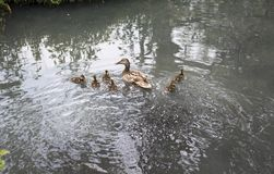 Family of geese with six baby geese swimming Stock Images