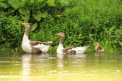A family of geese with small geese are swimming royalty free stock photography