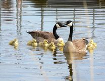 Family of geese in spring. Two adult geese with several tiny yellow chicks, swimming in a body of water in spring royalty free stock photos