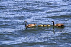Family of Geese on a Sunny Summer Day swimming on the Willamette River in Portland Oregon stock photos
