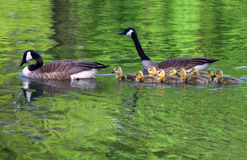 Family of geese swims. Family of geese swim on a lake searching for place where it is possible to rest and be not disturbed Royalty Free Stock Photography