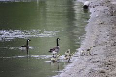 Family of geese. This family travels very close with each other, they watched the babies together Stock Images