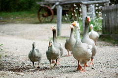 Family of geese. Walk across a country road Royalty Free Stock Image