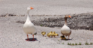 Family of geese. Walking with the little ones in Crete, Greece Stock Image