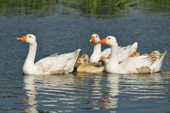 Family of geese on the water. White geese family swimming in lake Royalty Free Stock Photos