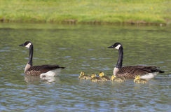Family of geese Royalty Free Stock Photos